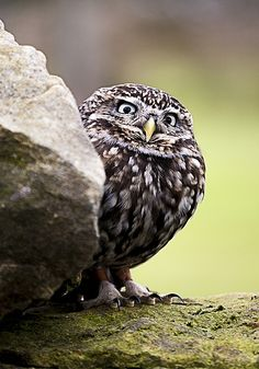 Little Owl | He makes me smile!