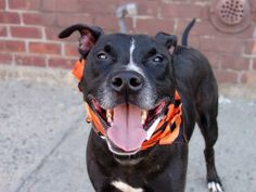 GONE --- TO BE DESTROYED 8/22/14 Brooklyn Center   My name is SNOOP. My Animal ID # is A0812629. ***RETURNED 8/16/14***  I am a neutered male black and white staffordshire mix. The shelter thinks I am about 7 YEARS old.  I came in the shelter as a OWNER SUR on 08/16/2014 from NY 11358, owner surrender reason stated was CHILDCONFL.   https://www.facebook.com/photo.php?fbid=858237094189171