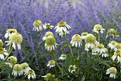 'Coconut Lime' (white double coneflower) pairs well with Russian sage (Perovskia…