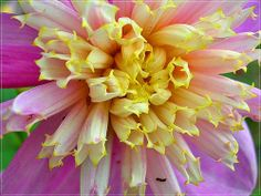 Dahlia pink & yellow by mamietherese1, via Flickr