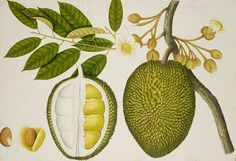 Durian.  Chinese.  Whooew, stinky. Upscale Bangkok hotels forbid bringing durian into rooms.