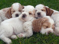 Four Cocker Spaniel puppies sleeping all together.
