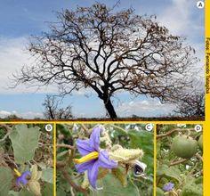 Solanum lycocarpum  - A Lobeira - é alimento para a abelha-mamangaba que poliniza diversas plantas incluindo o maracujá e a castanha-do-pará.