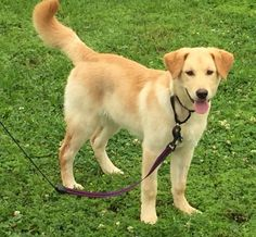 Meet Indigo, a Petfinder adoptable Golden Retriever Dog | New Orleans, LA | Name:IndigoAge:4 monthsGender:FemaleVaccinations:CurrentIndigo appears to be a Golden mix and is...
