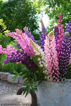 Lupine make great cut flowers