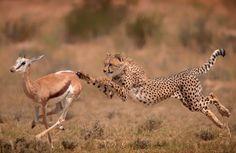 Een jagende cheetah op de vlaktes in Zuid-Afrika (Foto: Wim van den Heever)