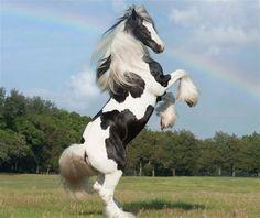 Gypsy Atı  Gypsy Vanner Bu atlar uzun yeleleri ve tüylü ayaklarıyla biliniyor.