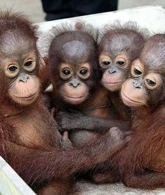 Baby Orangutans Enjoy the Early Years with Mom Nature Animals, Animals And Pets, Funny Animals, Monkey Pictures, Cute Animal Pictures, Baby Orangutan, Cute Monkey, Tier Fotos, Cute Little Animals