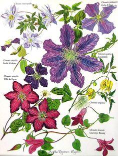 Flower Print  Genus Clematis  Flowering Plants  Botanical