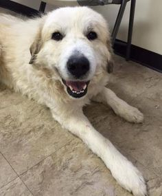 Petango.com – Meet Bernie, a 1 year Great Pyrenees / Mix available for adoption in CHICAGO, IL