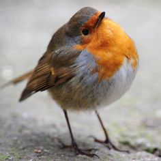 Grey Christmas: Rare mutant grey robin spotted in UK All Birds, Cute Birds, Pretty Birds, Little Birds, Beautiful Birds, Animals And Pets, Baby Animals, Cute Animals, Robin Vogel