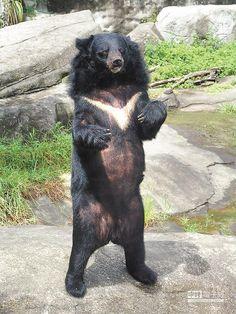 台灣黑熊。(台北動物園提供)