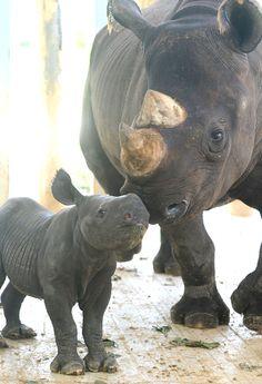 baby Black rhino & mommy!
