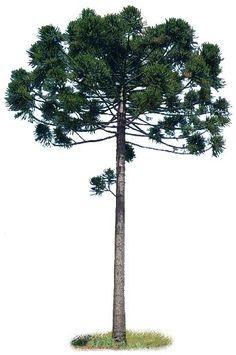 Pinheiro do Paraná Pine Tattoo, Lotus Tattoo Design, Rio Grande Do Sul, Patterns In Nature, Tatoos, Tree Tattoos, Botanical Art, Tree Art, Science Nature