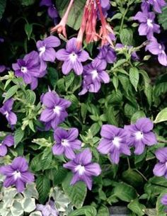 How to prune periwinkles to extend the blooming period and keep them tidy and manageable (early spring).