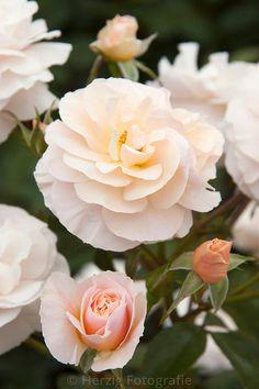 Cassetta, Floribunda rose. Colin Dickson (United Kingdom, 2002).   © Tina &…