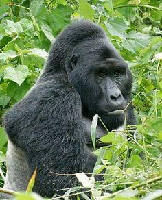 Le gorille de l'est / France Inter