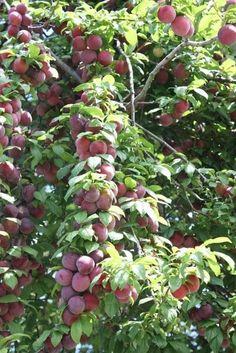 Plum, strawberry or peach sparkling wine Fruit Tree Garden, Fruit Plants, Fruit Trees, Beautiful Fruits, Beautiful Gardens, Beautiful Flowers, Fruit And Veg, Fresh Fruit, Fruit Bearing Trees