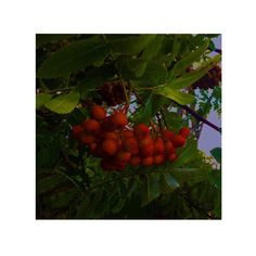#рябина #rowan #ягоды #осень #autumn #berries #листья #leaves #red #красный