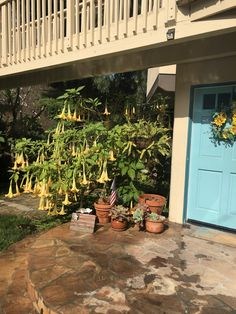 California Winter, Southern California, Angel Trumpet, Winter Garden, Plants, Sun Room, Planters, Plant, Indoor Greenhouse