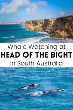 Planning to do some Head of the Bight Whale Watching in South Australia? Here is how to get there and what to expect. Click through for all the details you need to enjoy your visit. #headofbight #headofthebight #southaustralia #nullarbor #whalewatching #travel Australia Travel Guide, Australia Tours, South Australia, Western Australia, Visit Australia, New Zealand Travel, Mexico Travel, Spain Travel, Animal Experiences