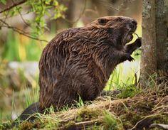 #Beavers
