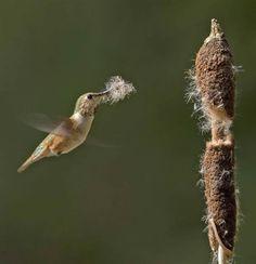 Rufous Hummingbird (Selasphorus rufus) Nesting