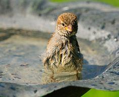 House Sparrow Bath Time