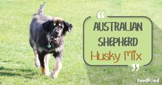 Complete Guide to Australian Shepherd Husky Mix Breed Dog - Featured Image Australian Shepherd Husky, Husky Mix, Mixed Breed, Cute Dogs, Puppies, Image, Cubs, Mixed Race, Funny Dogs