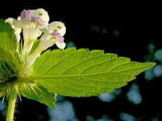 Kirjopillike, Galeopsis speciosa - Kukkakasvit - LuontoPortti Unique Flowers, Wildflowers, Finland, Natural Beauty, Plant Leaves, Flora, Scenery, Creative, Nature