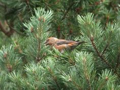 Scottish Crossbill - one of iconic species you'll see on our Speyside holidays or day tours.  www.speysidewildlife.couk