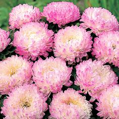 Aster chinensis 'Pink Tower'
