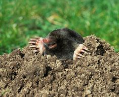 Čitatelia radia čitateľom! Pozrite si tipy, ako vypudiť krtka zo záhrady - Pluska.sk Gardening, Animals, Milan, Animais, Animales, Animaux, Garten, Lawn And Garden, Animal