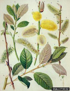 Salix caprea ⚫Sälg⚫goat willow, Salix caprea  (Salicales: Salicaceae) - 1379032