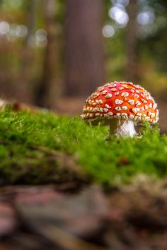 https://flic.kr/p/NtbCrQ | Fly Agaric (Amanita muscaria) | This was a really lucky find found on the front lip of one of the 100 year old World War I practice trenches that are dotted all over the local woods.