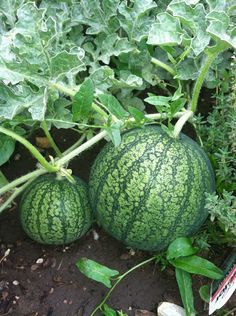 Growing Watermelon, Cultivation: Are you planning to grow watermelon? Well, you have reached right place to find out information about Growing Watermelon. Types Of Watermelon, Watermelon Varieties, Watermelon Vines, How To Grow Watermelon, Watermelon Plant, Growing Melons, Growing Vegetables, Types Of Pumpkins, National Watermelon Day