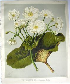 Sarah Featon, The Shepherd's Lily - Sara FEATON Hand-coloured engravings from The Art Album of New Zealand Flora, It contained descriptions of the native flowering plants of New Zealand and the adjacent islands. Vintage Botanical Prints, Vintage Art, Flower Prints, Flower Art, The Shepherd, Nature Prints, Botanical Illustration, Hand Coloring, New Zealand