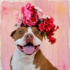 01/17/16--Jade is an adoptable Pit Bull Terrier searching for a forever family near Lubbock, TX. Use Petfinder to find adoptable pets in your area.
