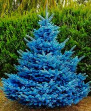 30 rare Colorado blue spruce seeds PICEA PUNGENS GLAUCA good for growing in pots, Excellentas a Christmas Tree seed for home(China (Mainland))