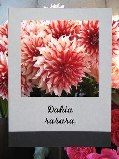 ダリア(ラララ)   #flower #shop #matilda #中目黒