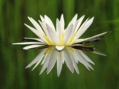 Water Lily Blooming, Okavango Delta, Botswana Photographic Print by Frans Lanting at Art.com