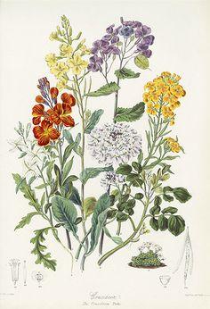 Botanical prints by Elizabeth Twining.
