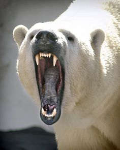 Polar Bear (Ursus Maritimus) native range lies largely within the Arctic Circle, encompassing the Arctic Ocean, its surrounding seas and surrounding land masses Angry Animals, Animals And Pets, Cute Animals, Angry Bear, Wild Animals, Baby Animals, Baby Polar Bears, Save The Polar Bears, Flora Und Fauna