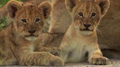widescreen backgrounds lion, 1920x1080 (526 kB)