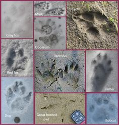 Here& a guide to poultry predator identification that covers tracks, scat, feeding sign, and other behavior, to help you identify threats to your chickens. Keeping Chickens, Raising Chickens, Pet Chickens, Backyard Poultry, Chickens Backyard, Backyard Patio, Predator, Coyote Tracks, Raising Ducks