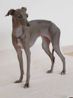 Blue Italian Greyhound