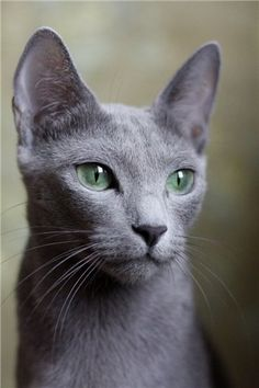 Russian Blue is a natural breed thought to have originated in northern Russia. It is noted for its short, plush, silvery blue coat, its brilliant green eyes, and its slender body type with long legs and body. This is a graceful, playful breed with a quiet temperament.