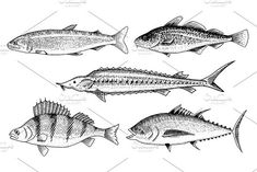 River and lake fish. Perch or bass, Scomber or mackerel, beluga and sturgeon. Seafood for the menu. Engraved hand drawn in old vintage sketch. by Arthur Balitskiy on Fish Illustration, Graphic Illustration, Illustrations, Bait And Tackle, Tackle Shop, Drawn Fish, Koi Carp, Little Tattoos, Vintage Fishing