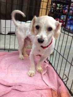 Cody Coton de Tulear • Adult • Male • Small Headin' Home Pet Rescue, Inc. Holland, MI