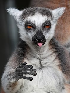 Katta / Ring-tailed Lemur (Lemur catta) by Sexecutioner, via Flickr